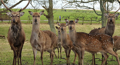 Family of deer