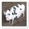 Sewerby zoo - Our mammals - Micro pig